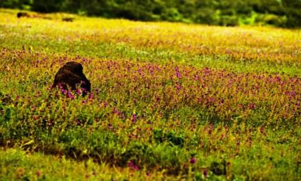 Kaas Pathar – Maharashtra's Plateau of Flowers
