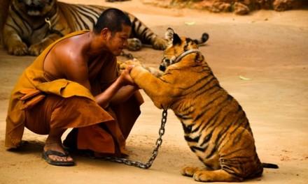 The Tiger Temple at Kanchanaburi