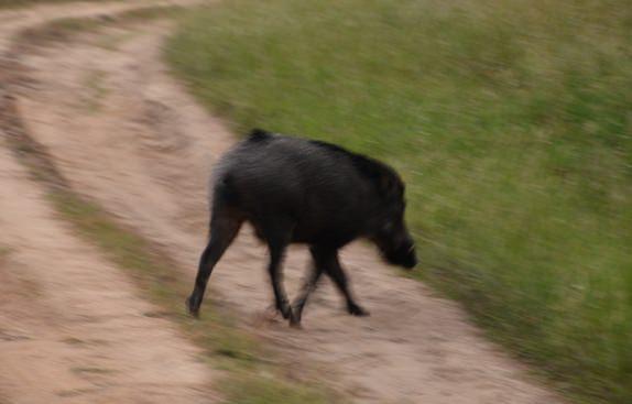 Jungle Safari-Wild Boar