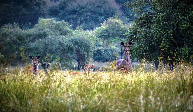Jungle Safari-Sambhar