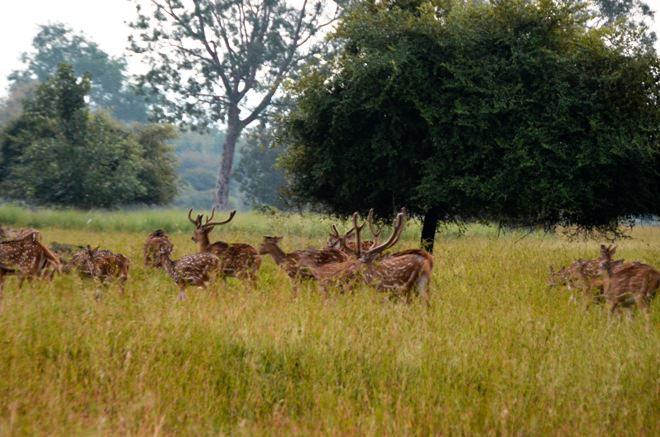 Jungle Safari-Satpura-Deer