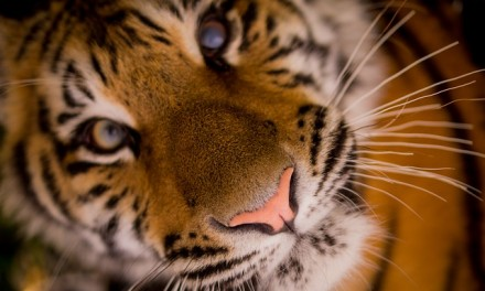 Of Tigers, People and Tourists …