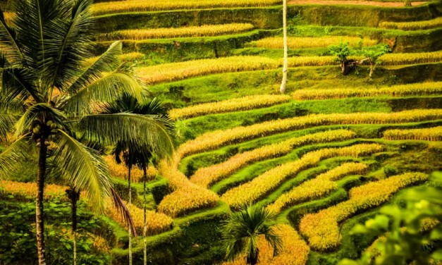 The Rice Terraces of Bali