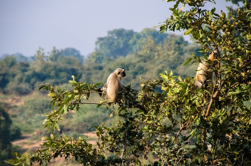 A Diary From The Jungles Of Panna 21