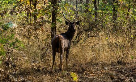 A Diary From The Jungles Of Panna